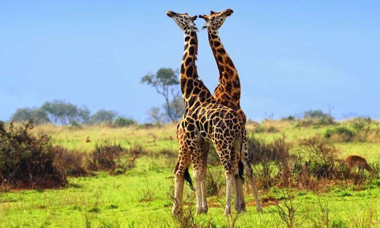 girafees