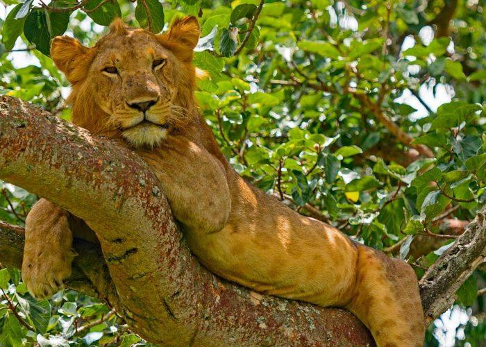 ishasha-lion-tree